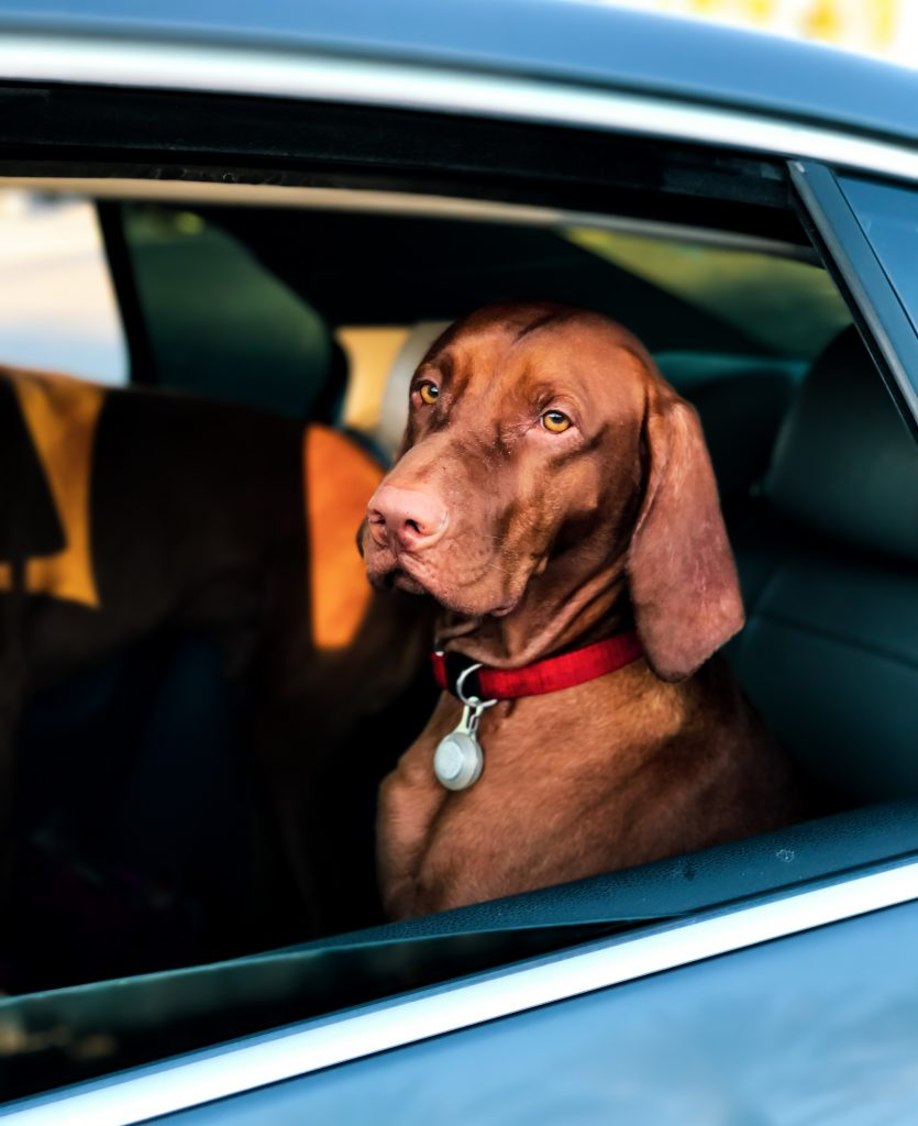 What to do when your dog gets car sick