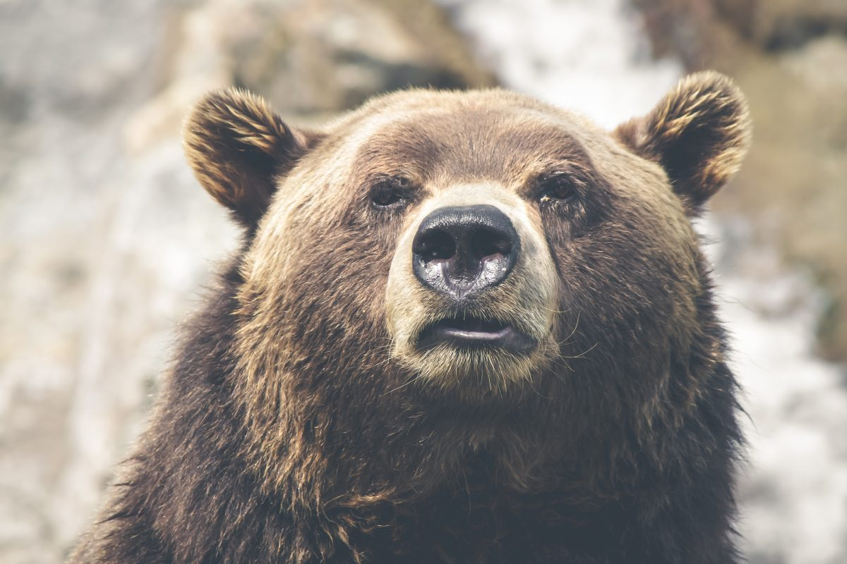 Will dogs in heat attract bears