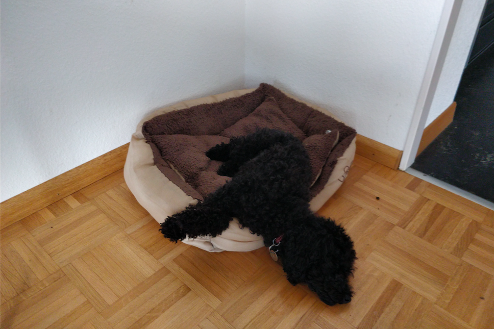 exhausted dog symptoms