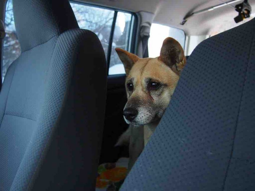 Why-is-my-dog-suddenly-scared-of-car-ridesanxious-in-the-car