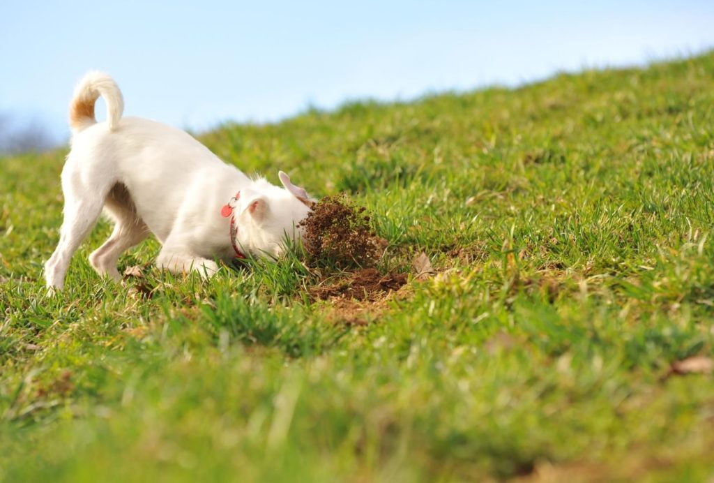 Terriers were bred to dig while hunting small prey, such as rabbits