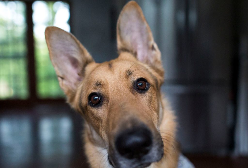 Dogs can hear extremely well