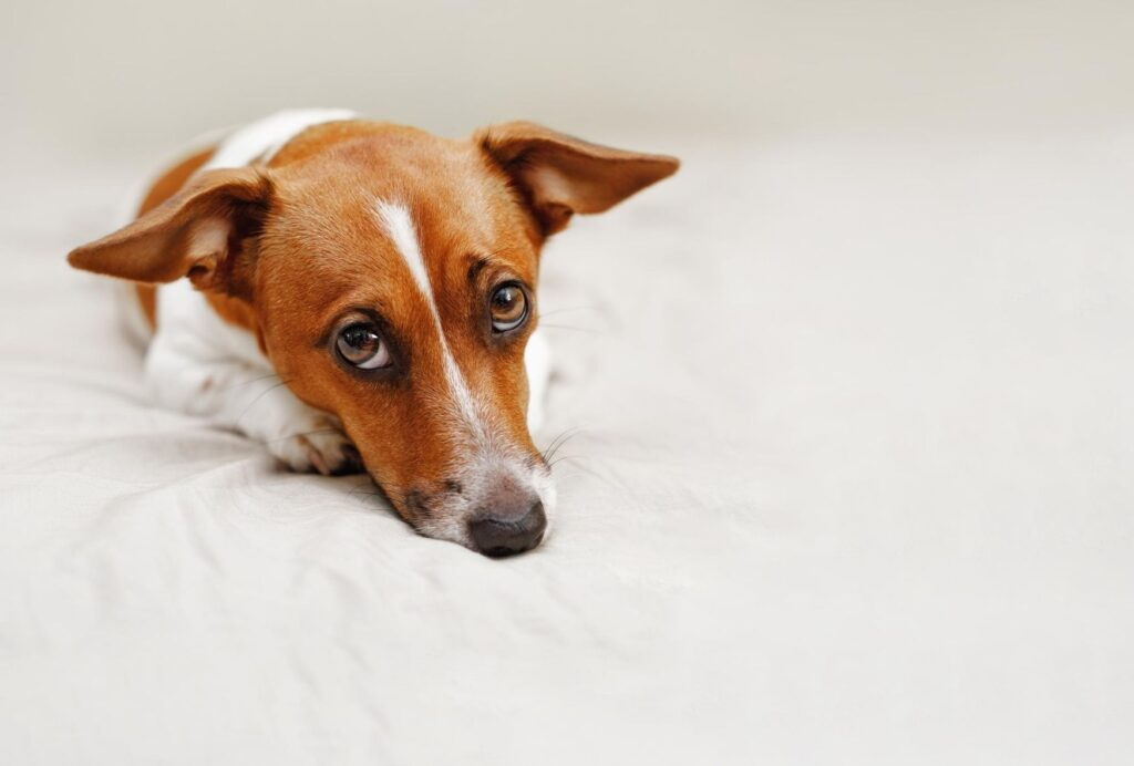 Sad dogs express their feelings though body language or whining, but they don't cry tears