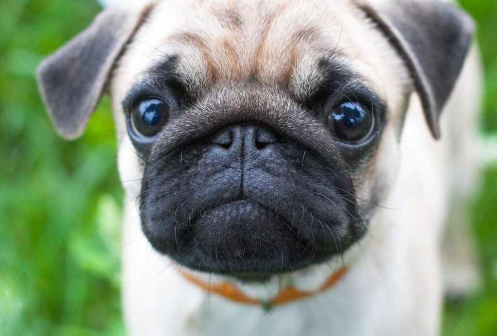 Brachycephalic dog breeds like pugs often have teary eyes
