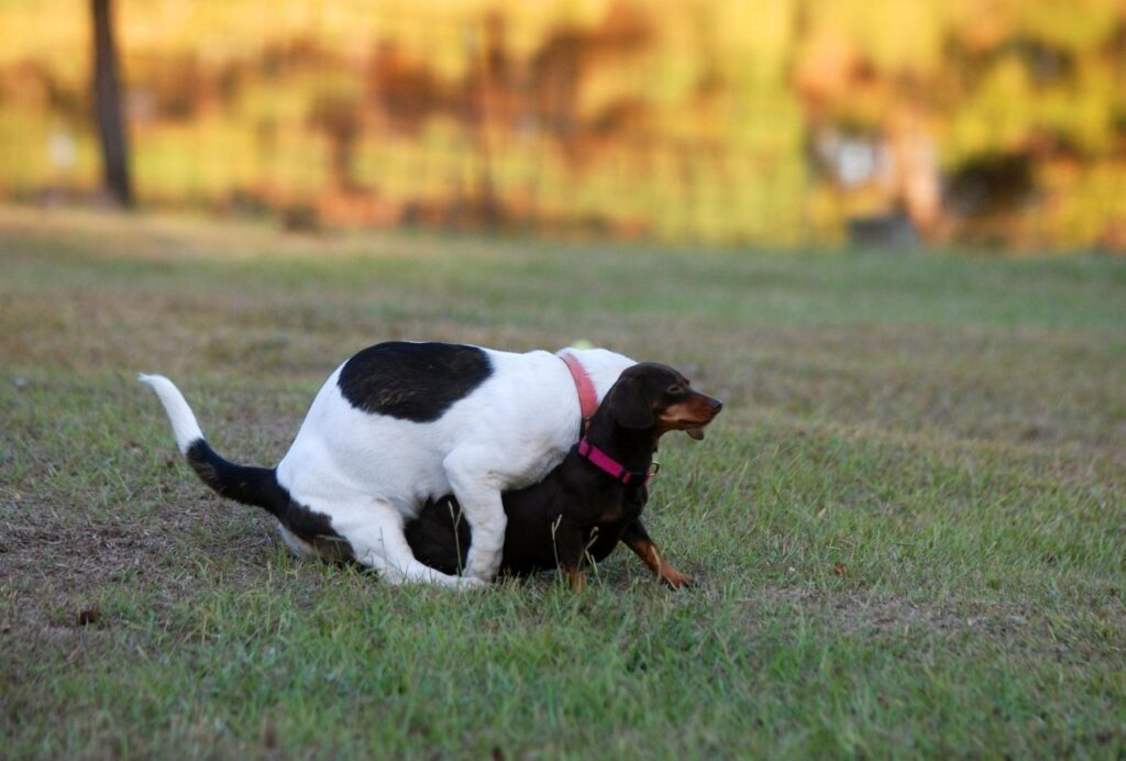 If your dog is humping and mounting a lot, make sure to reduce stress and stimulation
