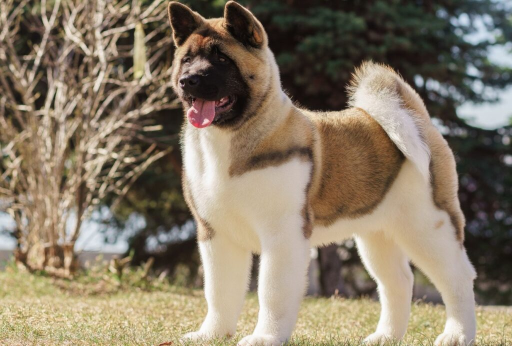 While they can be hard to train, Akitas are extremely loyal