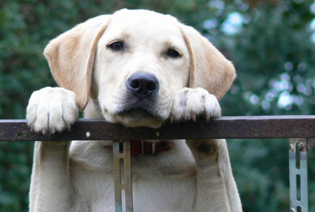 Along with Golden Retrievers, Labrador Retrievers are also ideal family dogs