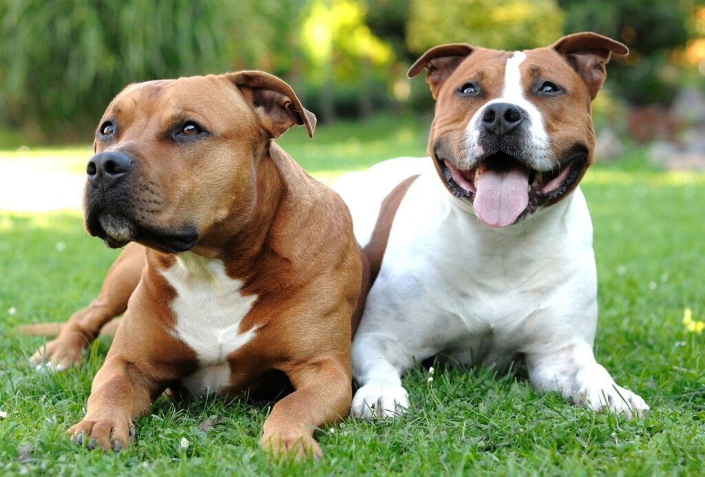 While Staffies have a bad reputation, they're in fact very kind and loyal