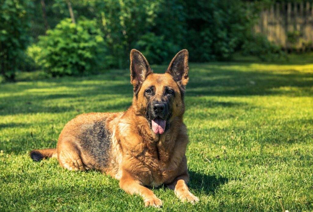 German shepherds are very loyal and brave companions