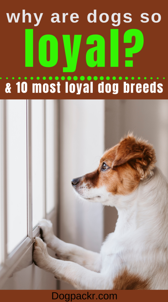 why are dogs so loyal