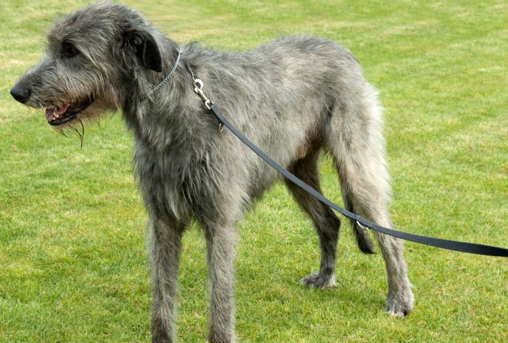 Looking for a loyal gentle giant? Then an Irish Wolfhound might be right for you