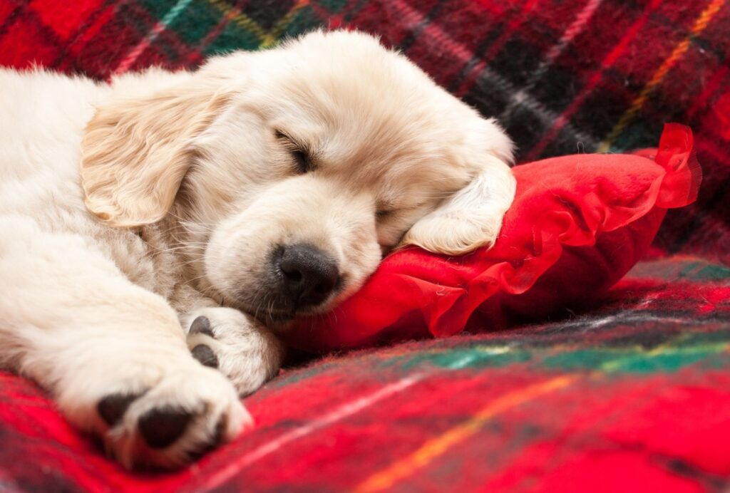 An 8-week old puppy should sleep between 18 to 20 hours per day