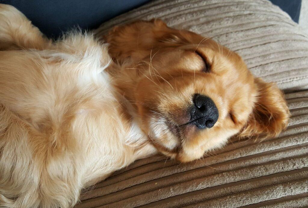 how to make a dog go to sleep