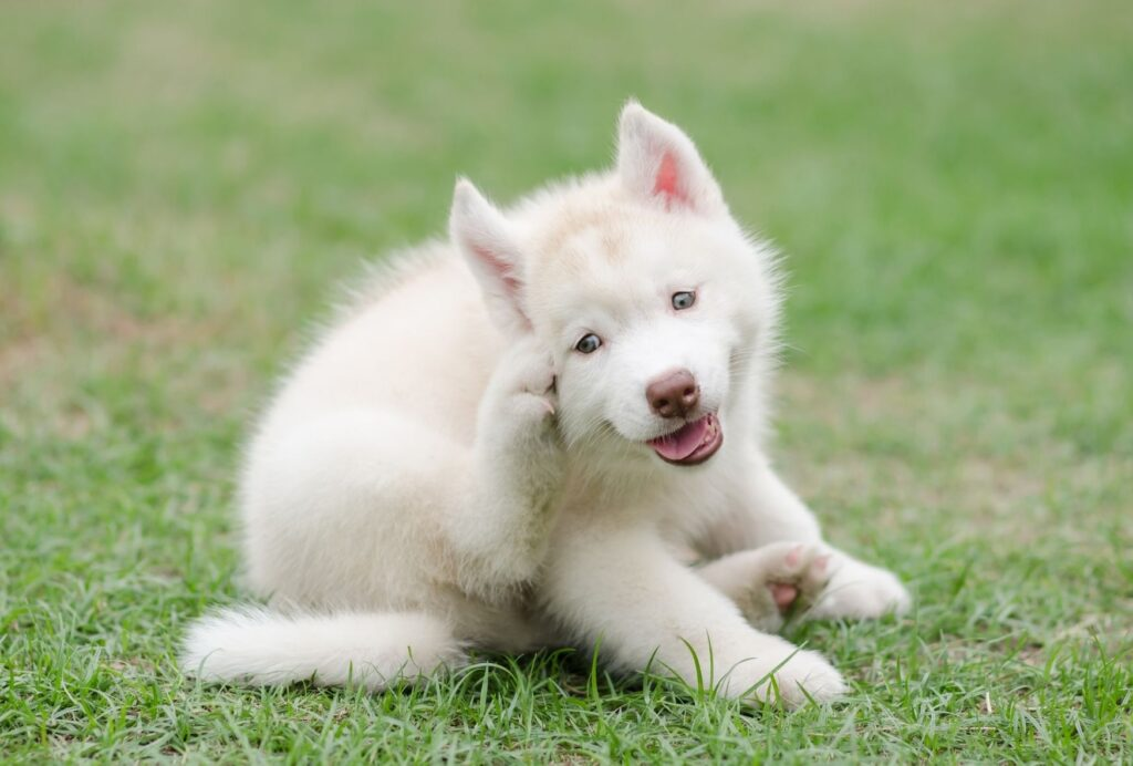 Skin infections could be another reason for your dog's scratching and chewing