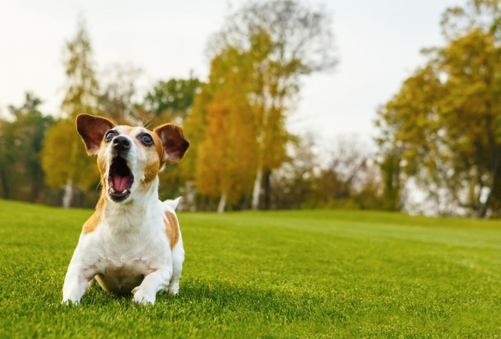Barking and being vocal is a major sign that your dog might be overtired