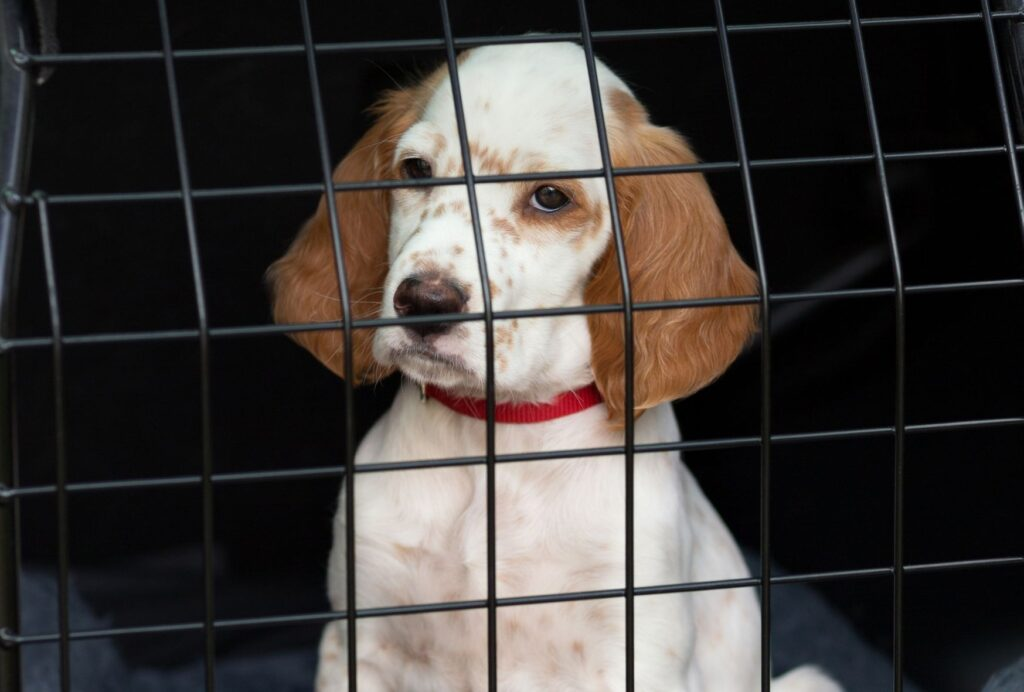 Separation anxiety is another common reason for puppy tantrums in the crate