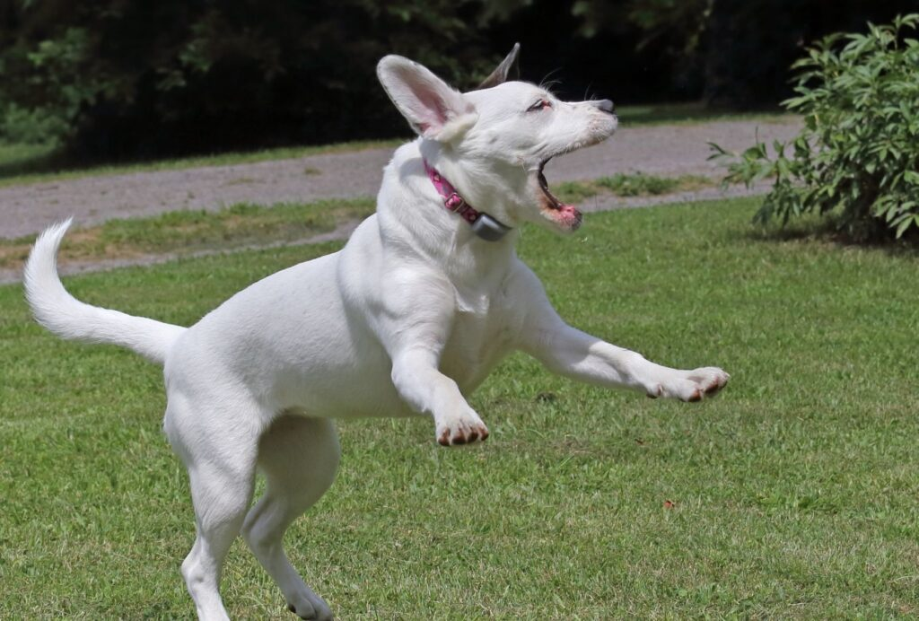 Zoomies and barking or crying are common hyperactive dog symptoms