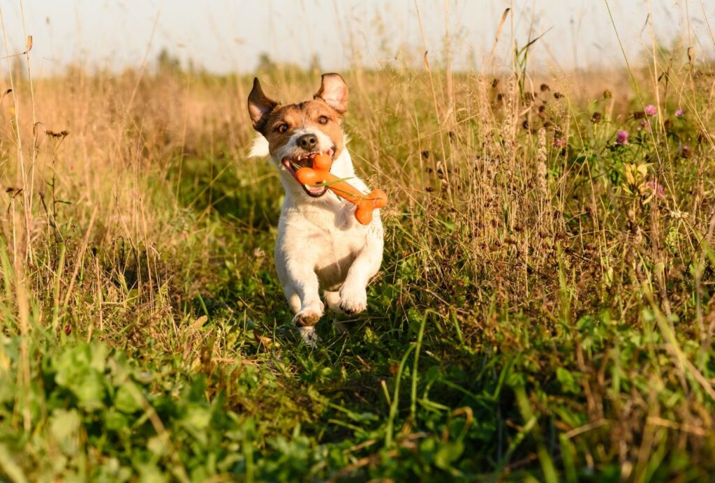 Jack Russell Terriers are among the most energetic and hyper dog breeds