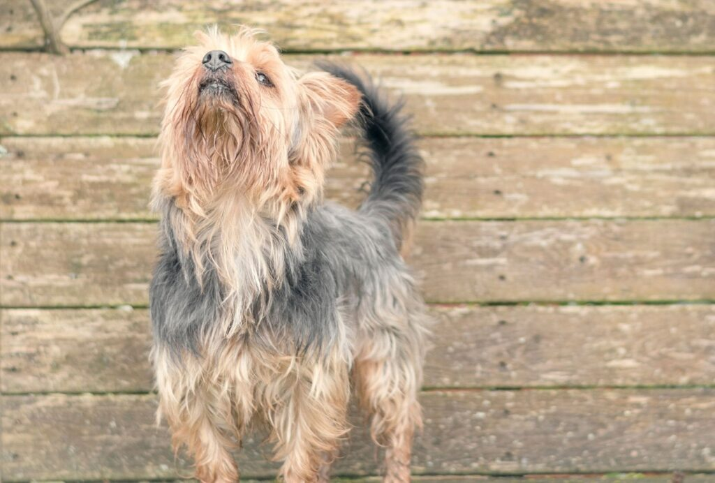If your dog is sniffing the air and pacing, then that's a sign that a certain smell might be stressing him out